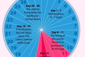 ovulation-cycle
