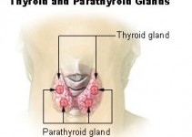 Illu_thyroid_parathyroid