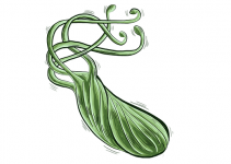 Helicobacter Pylori Effect on Fertility, Pregnancy, and Fetus