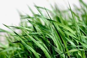 Skip Lemongrass During Your Pregnancy
